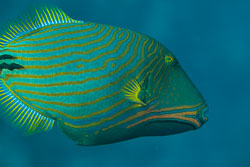 BD-150224-Ras-Mohammed-6721-Balistapus-undulatus-(Park.-1797)-[Orange-lined-triggerfish.-Orangestrimmig-tryckarfisk].jpg